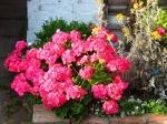 PIĘKNOŚCI  JEDNEGO SEZONU czyli co warto wiedzieć o  jednorocznych roślinach balkonowych -